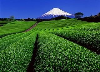 富士茶畑.jpg