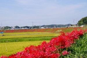 矢勝川堤の彼岸花.jpg
